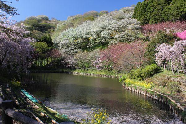 案内板に沿って急な坂道や林道を進むと、やがて最明寺林道に合流します。桜の木にぐるりと囲まれた池が見えたら最明寺史跡公園に到着です。