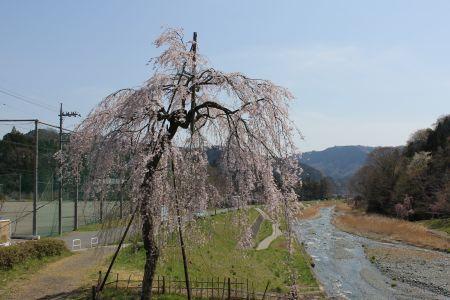 寄のしだれ桜